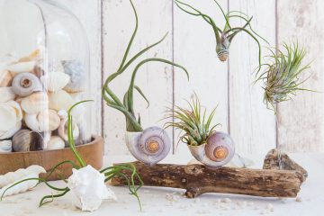 Dekorative Kombi - Air Plants mit Strandgut
