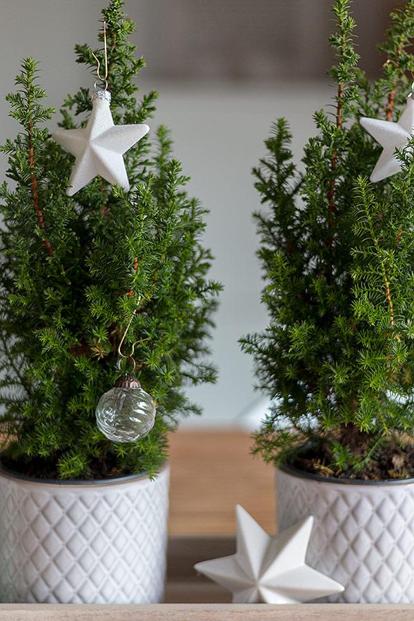 kleine echte Tannenbäume auf weihnachtlichem Dekotablett
