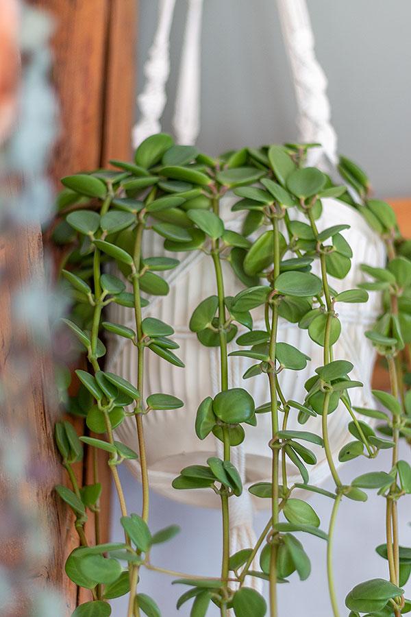 Hängepflanze Peperomia tetraphylla 'Hope' für den Urban Jungle Look